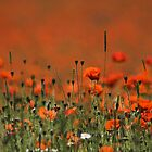 Poppy Field by Photokes