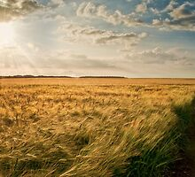 Wheat Field by Peter Towle