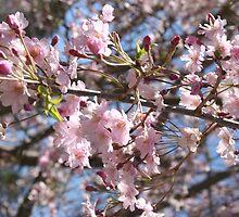 Weeping Cherry, Lake Junaluska, North Carolina by Paula Tohline  Calhoun