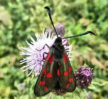 The Burnet Moth. by Lilian Marshall
