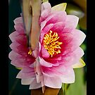 Water Lily iPhone case by Moonlake