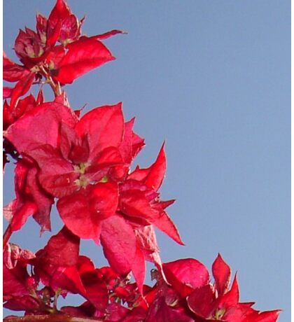 Pink Red Blooming Bougainvilleas Against A Blue Sky Sticker