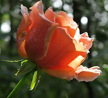 Rosebud and Raindrops! by Pat Yager