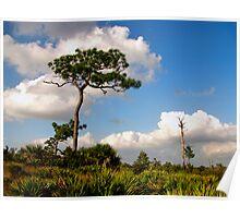 Sand Pine Portrait. Catfish Creek. Lake Wales Ridge. Poster