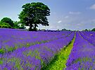 Mayfield Lavender Fields 2 by Colin  Williams Photography