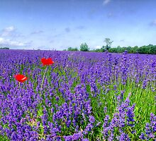 Mayfield Lavender Fields 3 by Colin  Williams Photography