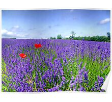Mayfield Lavender Fields 3 Poster