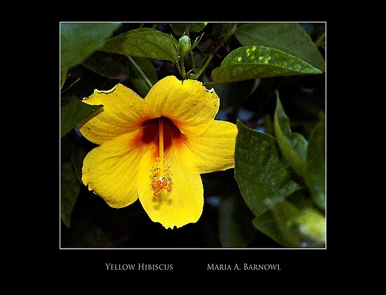 Yellow Hibiscus - - Posters & More by Maria A. Barnowl