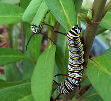 Caterpillars by Carla Barone