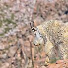Goat by Jay Ryser