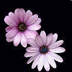 Two Pink Cape Daisies on Black Background by kathrynsgallery