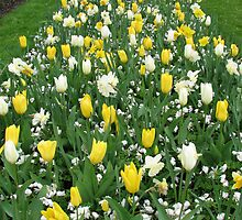 Torrent of Tulips - Keukenhof Gardens by MidnightMelody