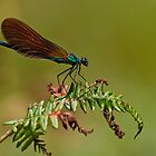 Dragonflies of Portugal by César Torres