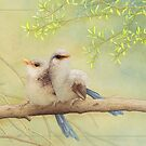 Juvenile variegated fairy-wrens card by Laura Grogan