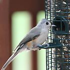 Titmouse on a Birdfeeder by Terry  Berman