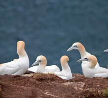 Gannets by M.S. Photography & Art