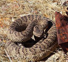 Common Rattle Snake by SB  Sullivan