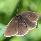 Ringlet  by dilouise