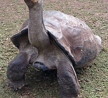 LONG NECK - galapagos tortoise by springs