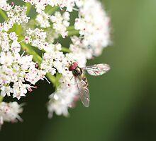 Elder flower  by Aaron  Wahab