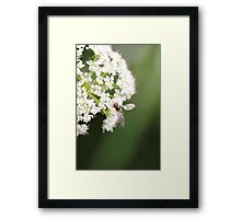 Elder flower  Framed Print