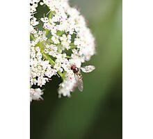 Elder flower  Photographic Print