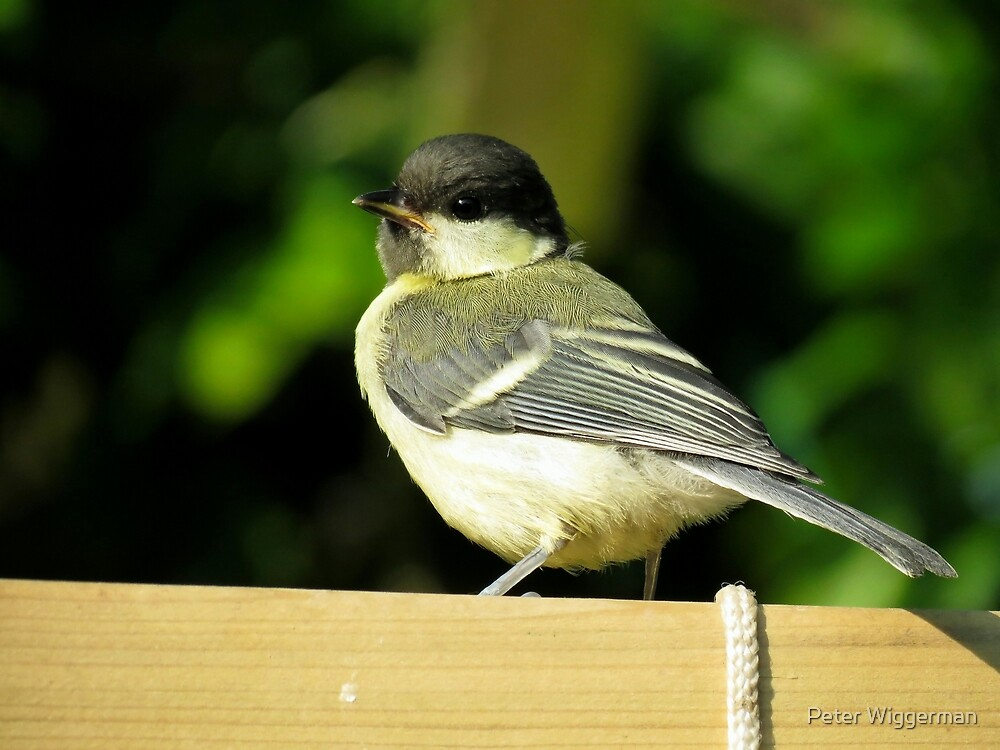 Juvenile tit by Peter Wiggerman