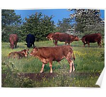 Grazing Cattle Poster