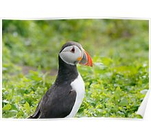 common puffin Poster