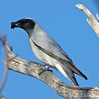 A Plain Jane ~ Black-faced Cuckoo-shrike by Robert Elliott