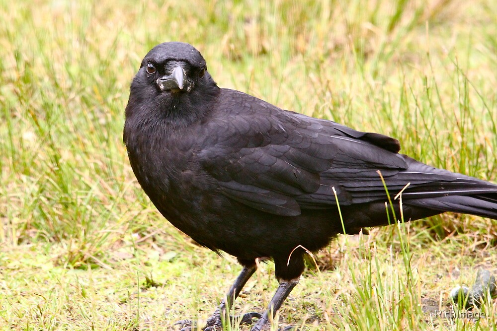 A Crow in Canada... by RichImage
