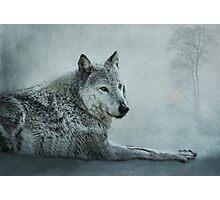 le loup gris Photographic Print