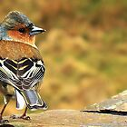 Chaffinch by seanwareing