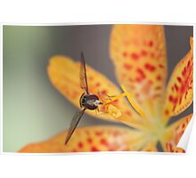 Orange flower and hoverfly Poster