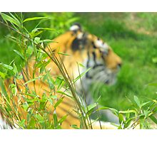 tiger blur Photographic Print