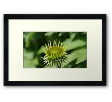 Green Coneflower Framed Print