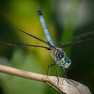 Blue Dragonfly! by vasu