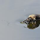 Bumble bee drinks water from pond! by vasu