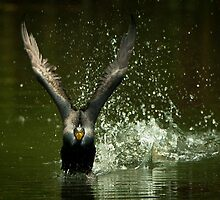 Cormorant Liftoff by Joe Jennelle