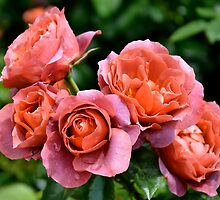 Hot Cocoa Roses... by Carol Clifford