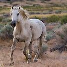 West Desert Mustang Running by Robbie Knight