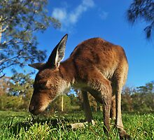 Kangaroo close up by Anton Gorlin