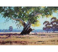 Australian Gum Tree Photographic Print