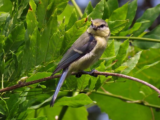 Juvenile blue tit enjoying the sun by Peter Wiggerman