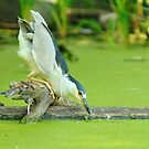 Night Heron_1  A closer look by gregsmith