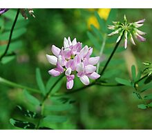 Beautiflul Crown Vetch Photographic Print