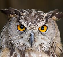 Owl by patricksharp