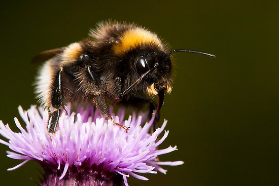 Thistle Bee Fine by RedMann