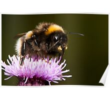 Thistle Bee Fine Poster