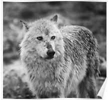 Wolf in B&W Poster